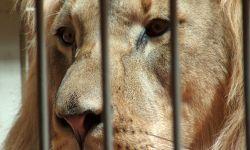 Leone in gabbia